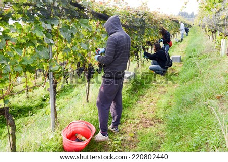 Porza, Switzerland - 24 September 2014: People harvesting grape on a vineyard at Porza near Lugano on Switzerland