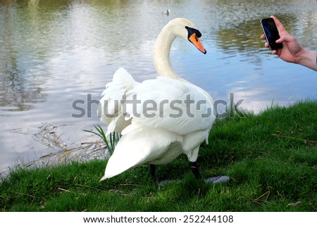 Posing Swan - stock photo