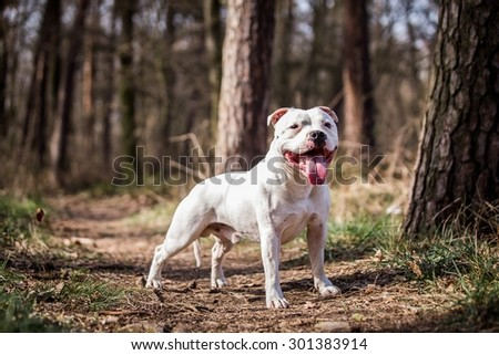 posing white male stafford bull terrier outside - stock photo