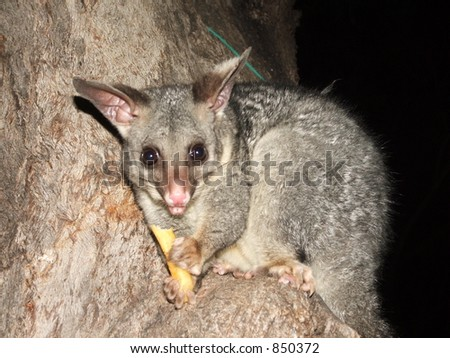 Possum Eating a Chip - stock photo