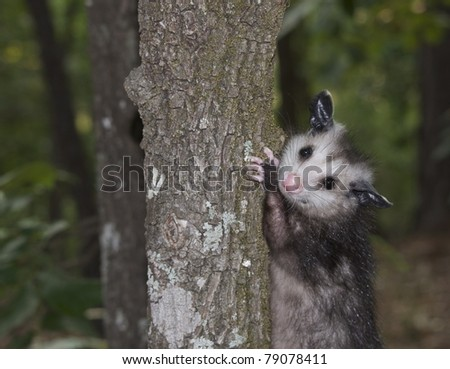 Possum up a tree - stock photo