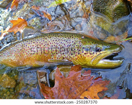 Post Spawn Brown Trout - stock photo