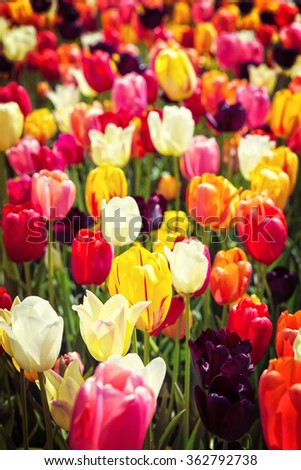 postcard with colorful tulips on a field with sunshine - stock photo