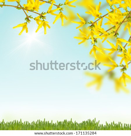Postcard with fresh flowers forsythia and grass and place for your text. Abstract background for design. - stock photo