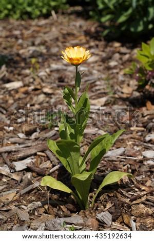 Pot Marigold (Calendula officinalis) - stock photo