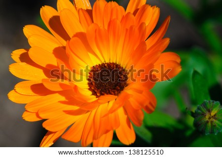 Pot marigold (Calendula officinalis) isolated on blur background - stock photo