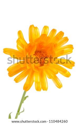 Pot marigold (Calendula officinalis) isolated on white background - stock photo