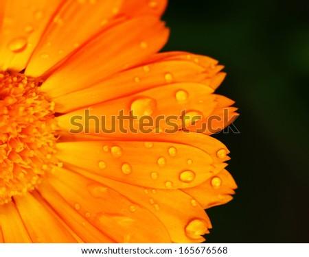 Pot marigold detail macro (Calendula officinalis) - stock photo