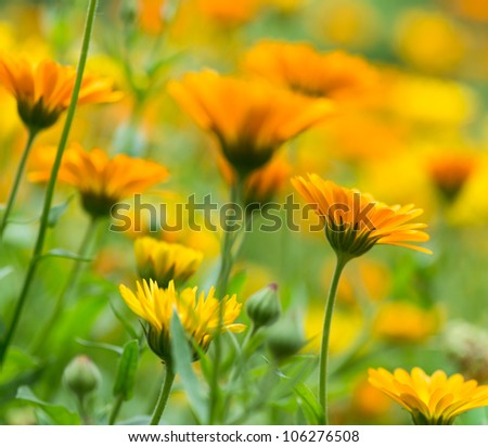 Pot Marigold in the summertime - stock photo