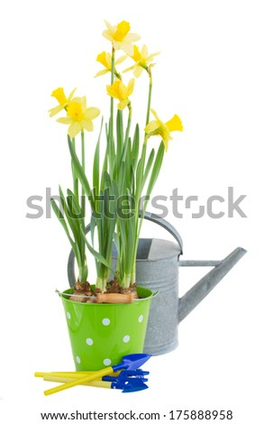 pot of daffodils with watering can and gardening tools  isolated on white background - stock photo