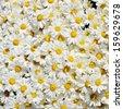 Pot of daisies  - stock