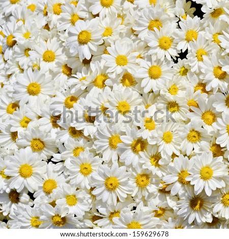 Pot of daisies  - stock photo