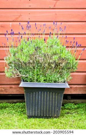 Pot of lavender in a garden - stock photo