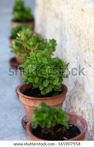 Pot plants in a line/The line-up/A row of rich green pot plants along a natural stone wall.