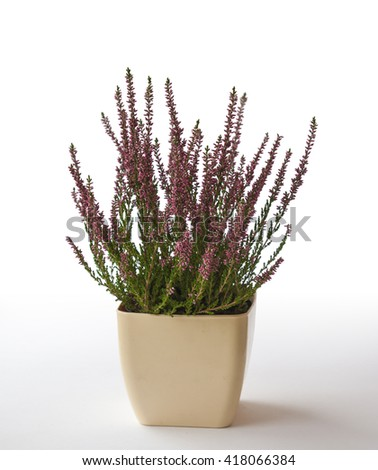 Pot with pink  heather on a white background - stock photo