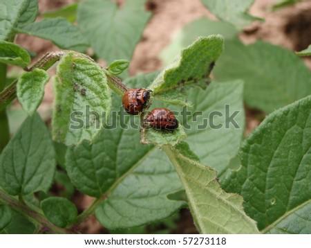 Potato Bug eating the leaves of a potato plant - stock photo