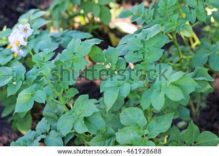 potato bush