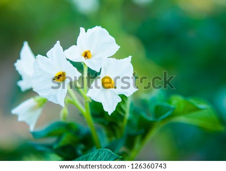 Potato bush blooming with white flowers