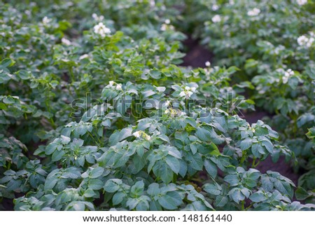 Potato bush blooming with white flowers on the garden bed close-up - stock photo