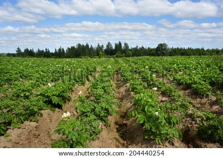 Potato farmer field with blue sky                    - stock photo
