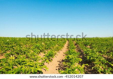 Potato field cultivation on organic technology