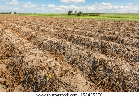 Potato field with ridges and withered foliage on a sunny day in the autumn season.
