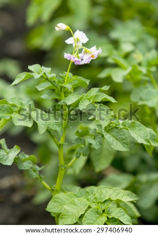 potato flowers - stock photo