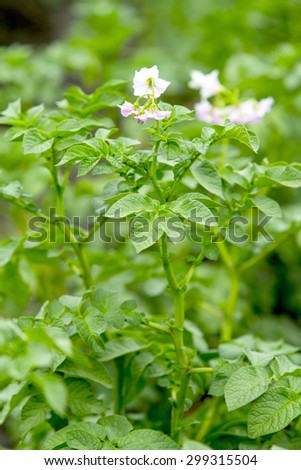 potato flowers - stock photo