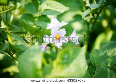 potato flowers growing in the garden - stock photo