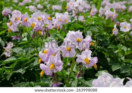 potato flowers in bright sunlight grow in  field - stock photo