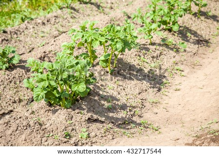 Potato green leaf bushes growing in the garden - stock photo