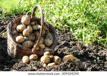 potato harvest - stock photo