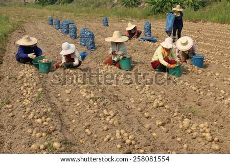 Potato harvest from hot plant - stock photo