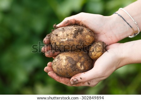 Potato harvesting. Female hands holding potatoes straight from the field. Locavore, clean eating,organic agriculture, local farming,growing concept. Selective focus - stock photo