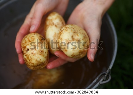 Potato harvesting. Female hands holding washed potatoes straight from the field. Locavore, clean eating,organic agriculture, local farming,growing concept. Selective focus - stock photo