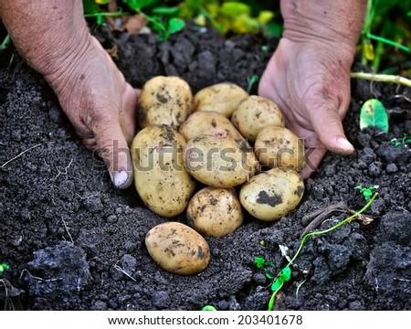 Potato lifting in the kitchen garden - stock photo