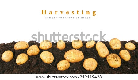 Potato on the earth. On a white background. - stock photo
