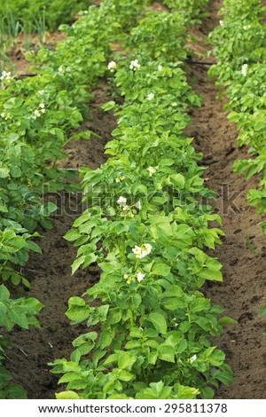 potato plant - stock photo