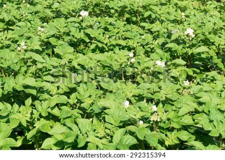 Potato plant race Raja in the organic vegetable garden Groentenhof in Leidschendam, Netherlands. - stock photo