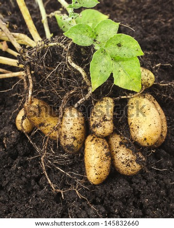 potato plant with tubers in soil dirt surface  - stock photo