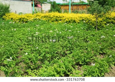 Potato plantation background - stock photo