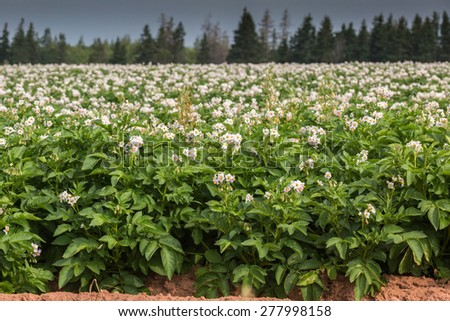 Potato plants flower in a potato field in rural Prince Edward Island, Canada. - stock photo