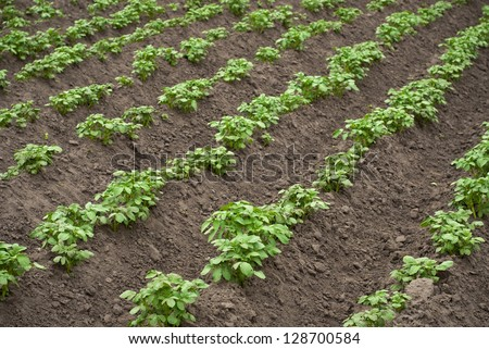 potato plants in rows on potato field in summer - stock photo