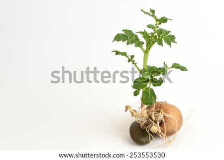 Potato tree. - stock photo