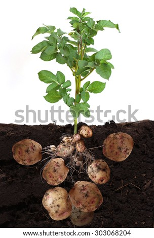 potato vegetable with tubers and leaves in ground. - stock photo