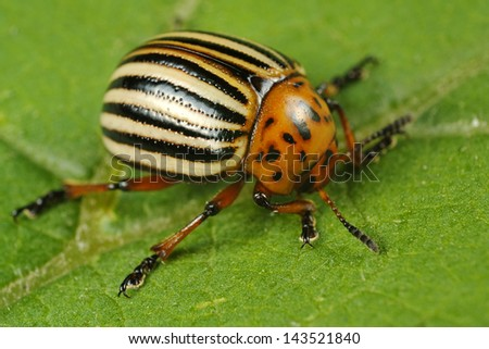 Potatoe beetle - Leptinotarsa decemlineata - stock photo