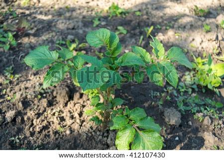 potatoes branchs - stock photo