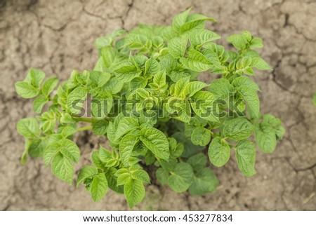 Potatoes bush. Potatoes leaves in garden, summer - stock photo
