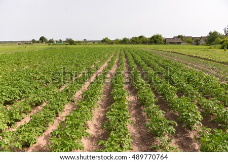 potatoes growing in the garden green rows