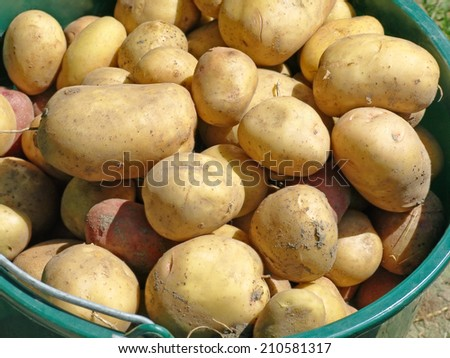Potatoes in bucket taken closeup.